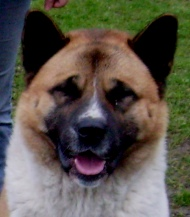 American akita Dam: Ch. Riverwiew Show Stopper